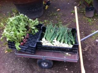 Gemüse - frisch aus dem Tafelgarten